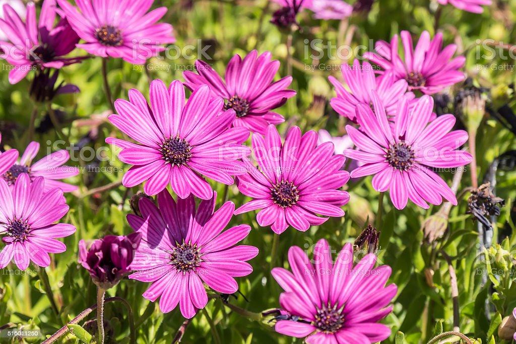 Dimorphotheca ecklonis pink flowers stock photo