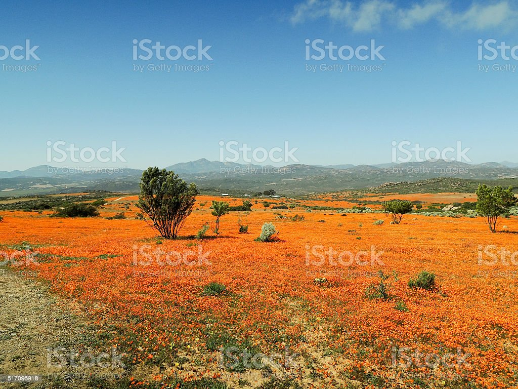 Dimorphotheca Sinuata. Each year the barren semi-desert Namaqual stock photo
