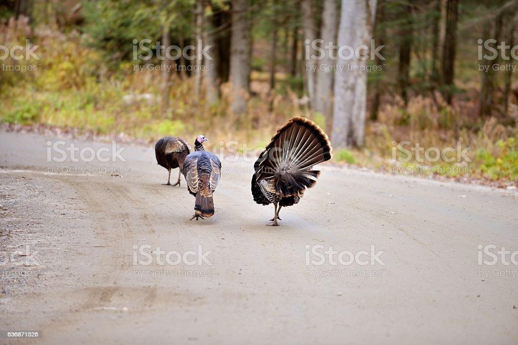 Dindon sauvage - Wild turkey stock photo