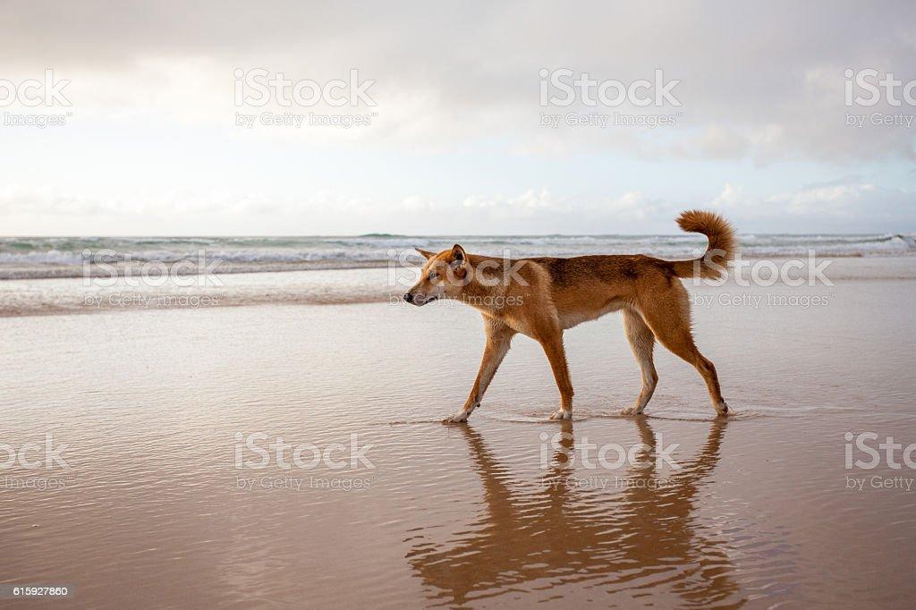 Dingo on Fraser Island stock photo
