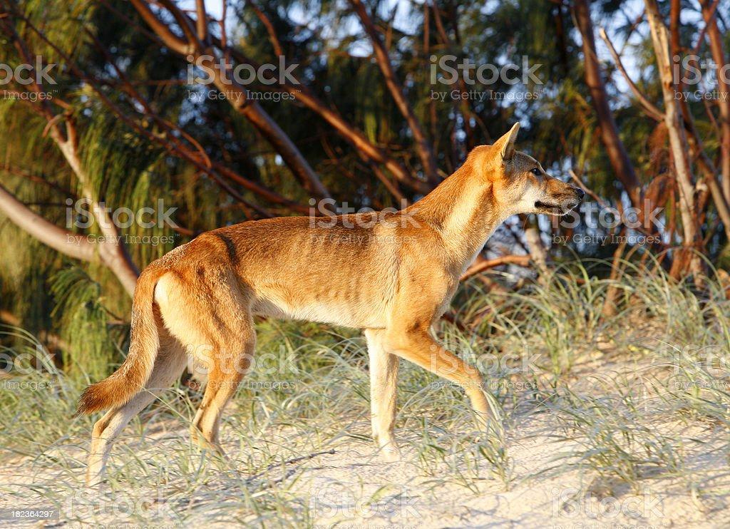 Dingo on the prowl royalty-free stock photo
