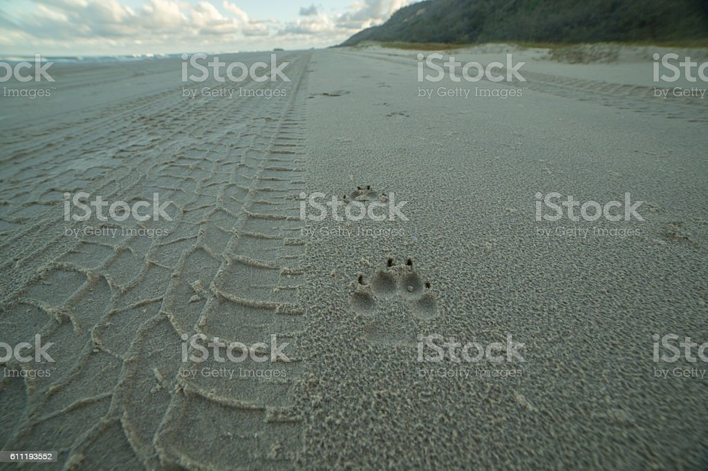Dingo paw print on the beach at Fraser Island, Australia stock photo