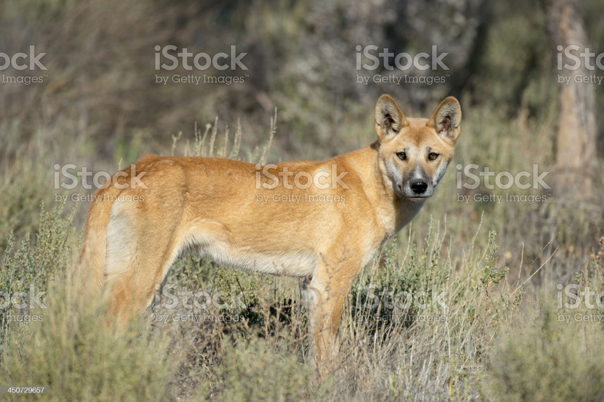 Dingo royalty-free stock photo