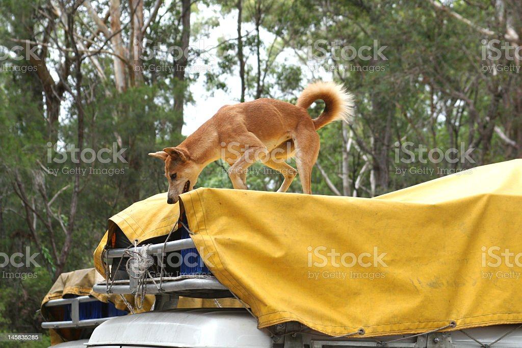 Dingo Stealing Food royalty-free stock photo