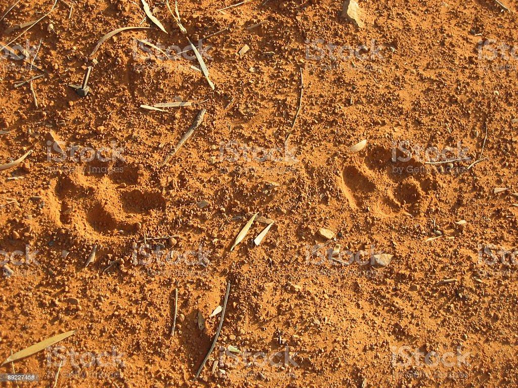 Dingo Tracks royalty-free stock photo