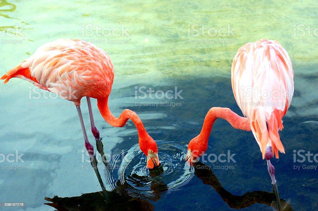 Dining Flamingos stock photo