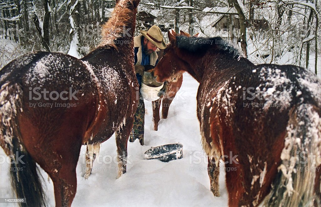 Dinner time for cold horses royalty-free stock photo