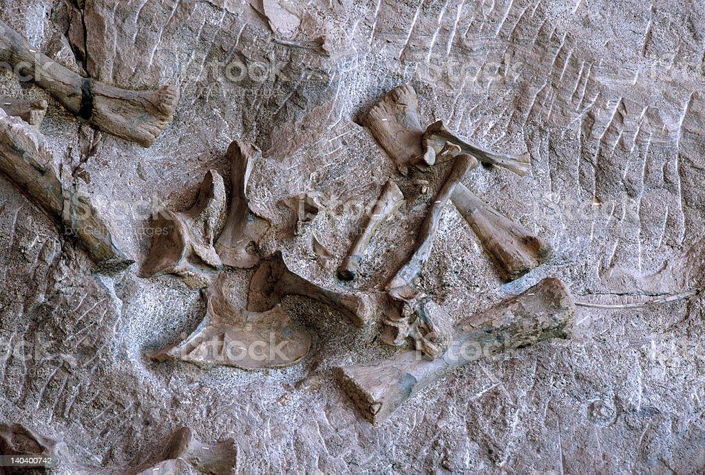 Dinosaur bones royalty-free stock photo