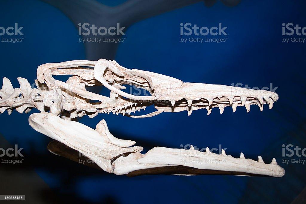 dinosaur head bones royalty-free stock photo
