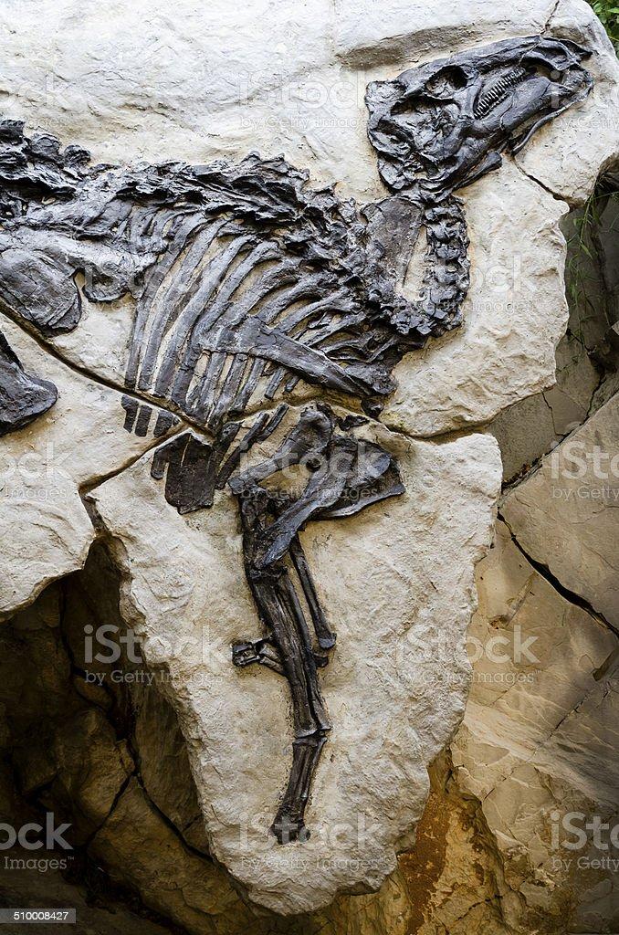Dinosaur skeleton - fossil close up stock photo
