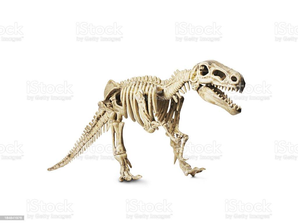 Dinosaur skeleton model isolated on white stock photo