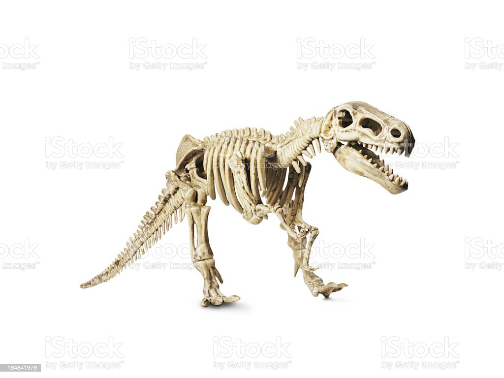 Dinosaur skeleton model isolated on white stock photo
