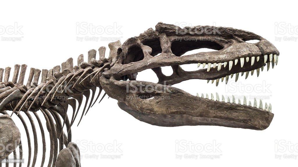 dinosaur skeleton, tyrannosaurus rex stock photo