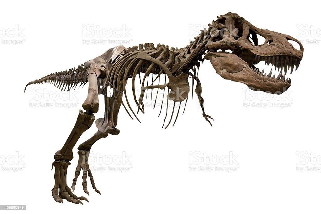 dinosaur Tyrannosaurus Rex skeleton stock photo