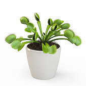 Dionaea muscipula isolated on white background. 3D Rendering, 3D Illustration.