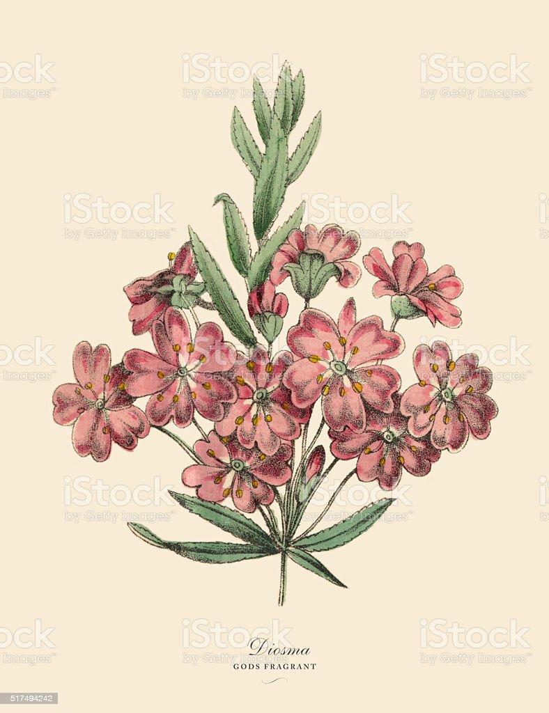 Diosma Plant, Victorian Botanical Illustration stock photo