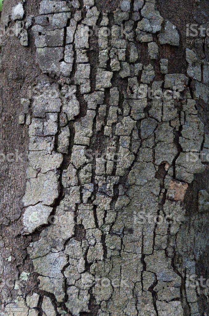 Diospyros ferrea,ryukyu ebony,Bark Tree Texture stock photo