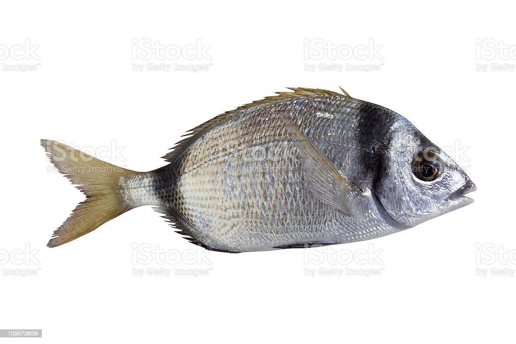 diplodus vulgaris fish two band bream stock photo