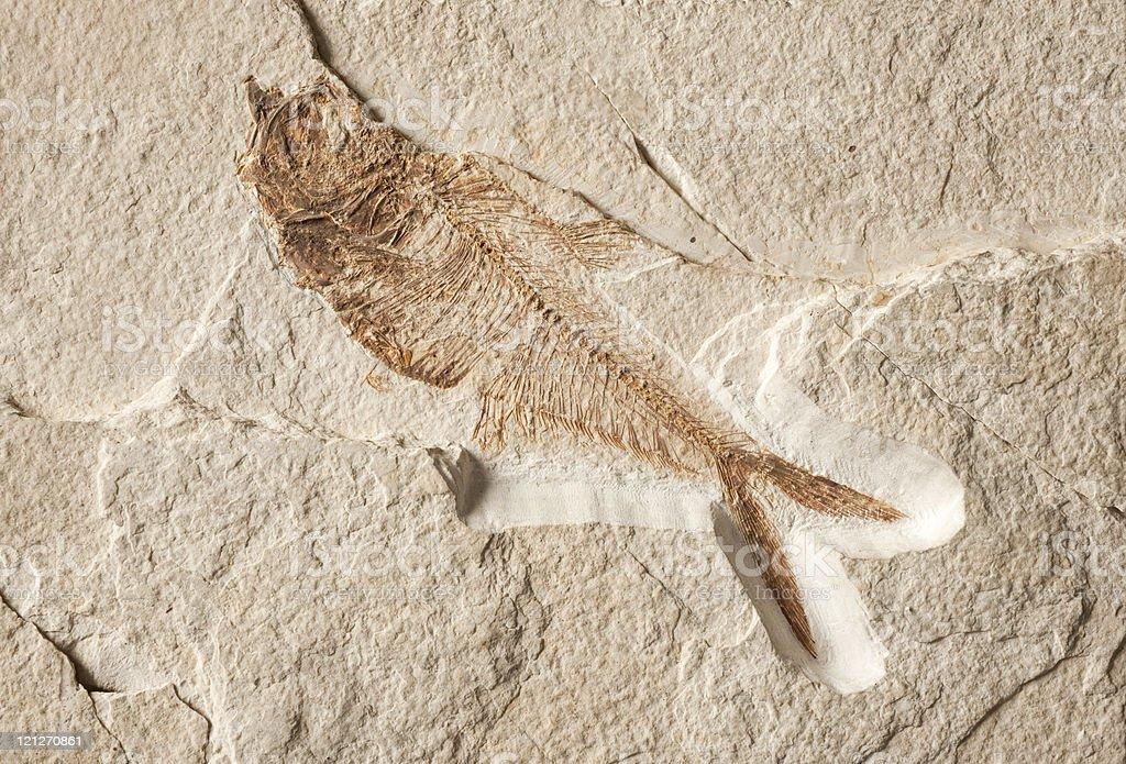 Diplomystus (fossil) stock photo