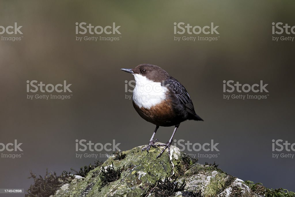 Dipper, Cinclus royalty-free stock photo
