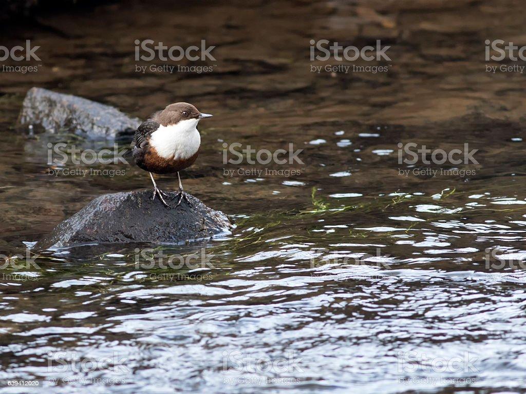 Dipper (Cinclus cinclus), Scotland stock photo