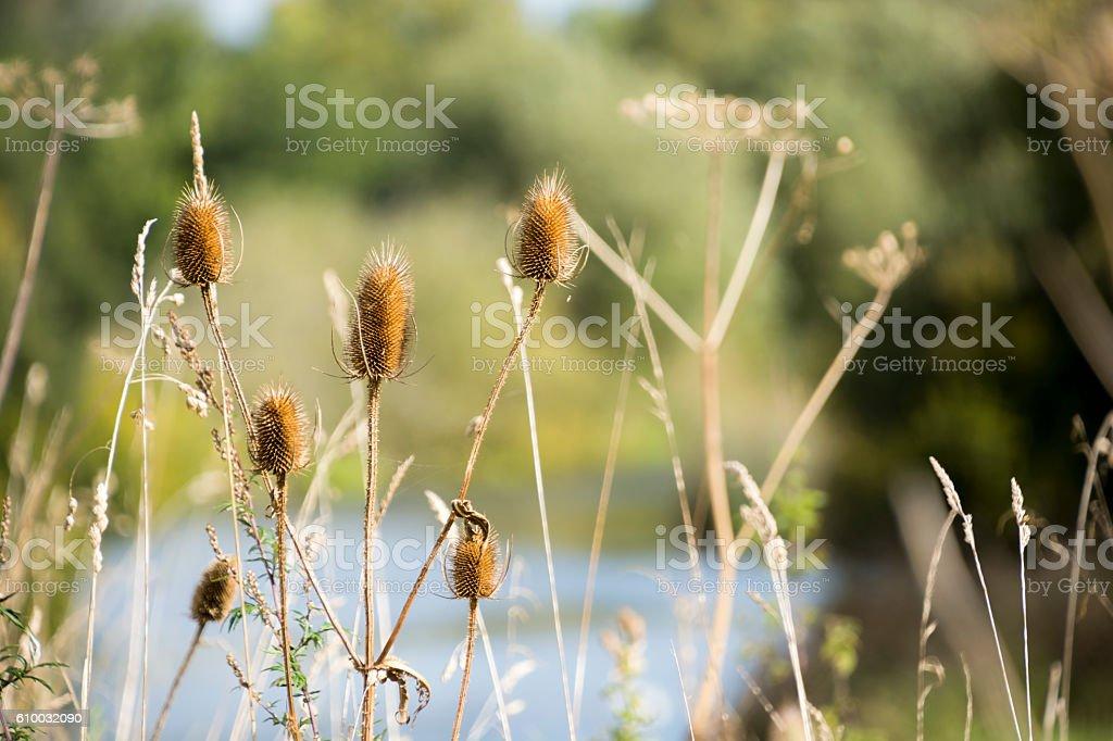 Dipsacus Teasel Plant stock photo