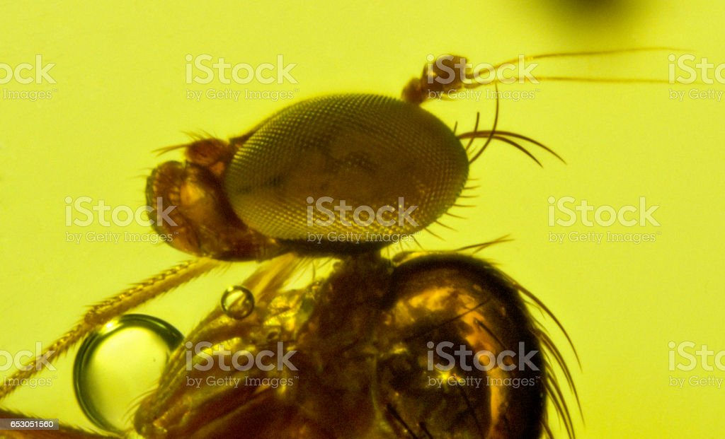Diptera Fossil Inclusion Dominican Amber stock photo