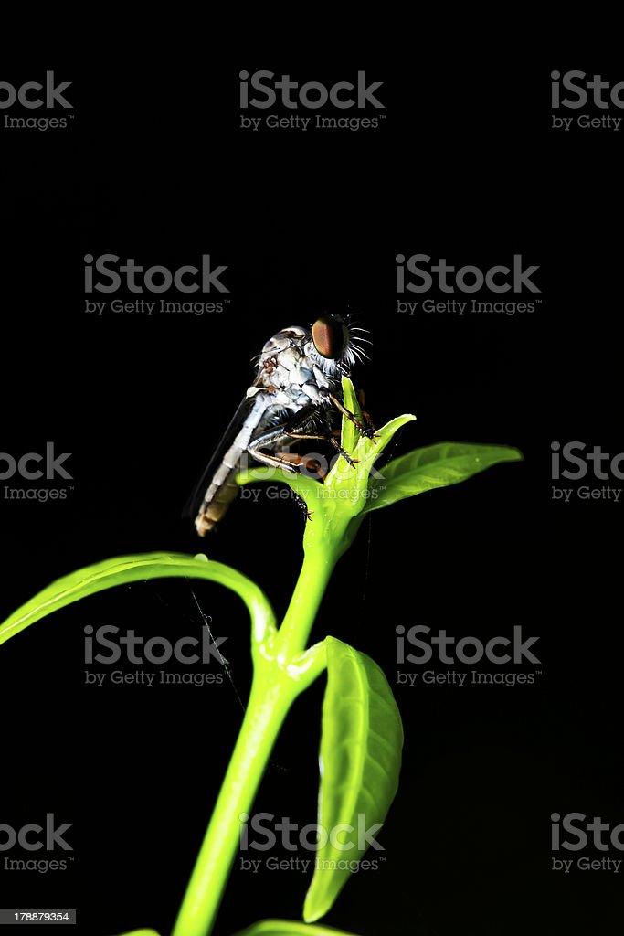 Diptera royalty-free stock photo