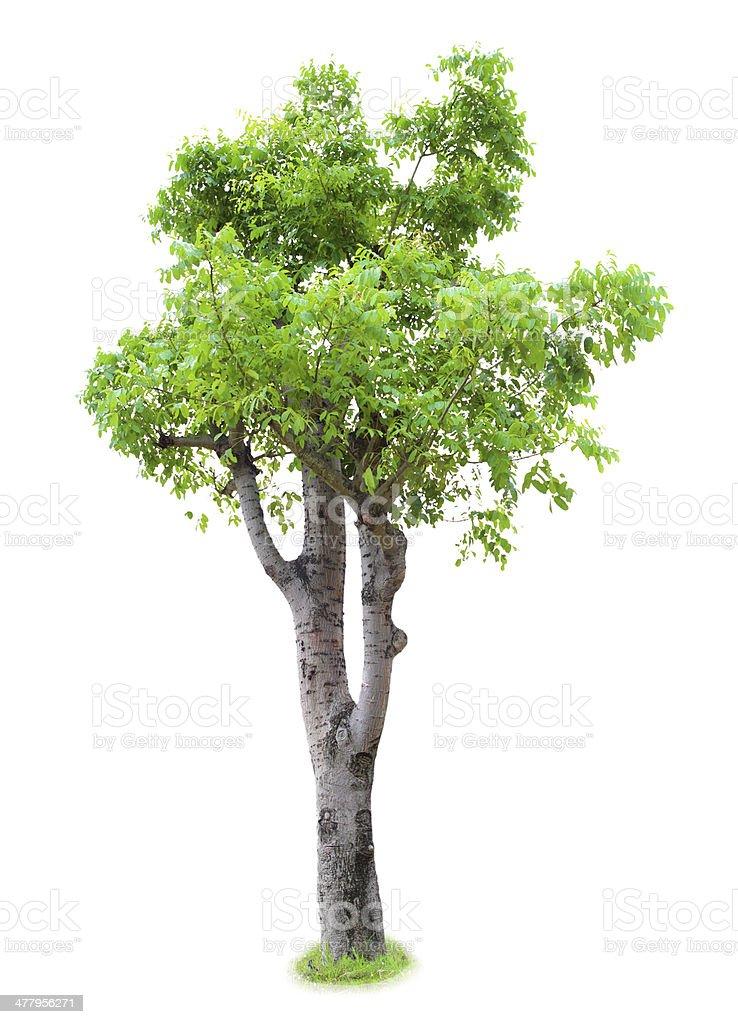 Dipterocarpus alatus Roxb tree  isolated royalty-free stock photo