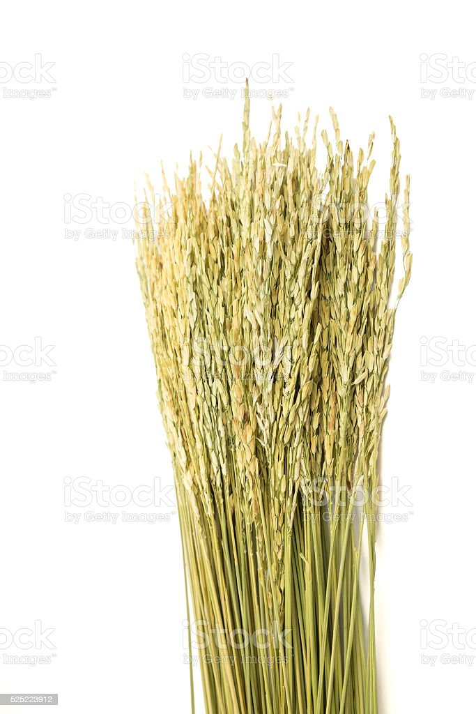 Dired paddy grain rice on white background stock photo