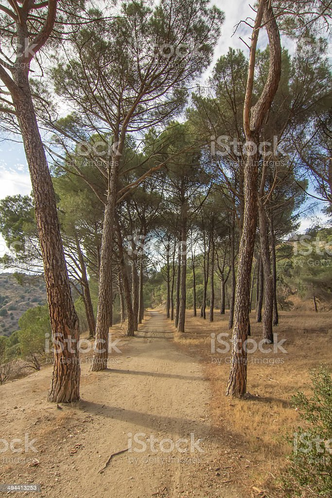 dirt road among large pines stock photo