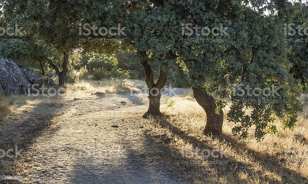 dirt road between oaks stock photo