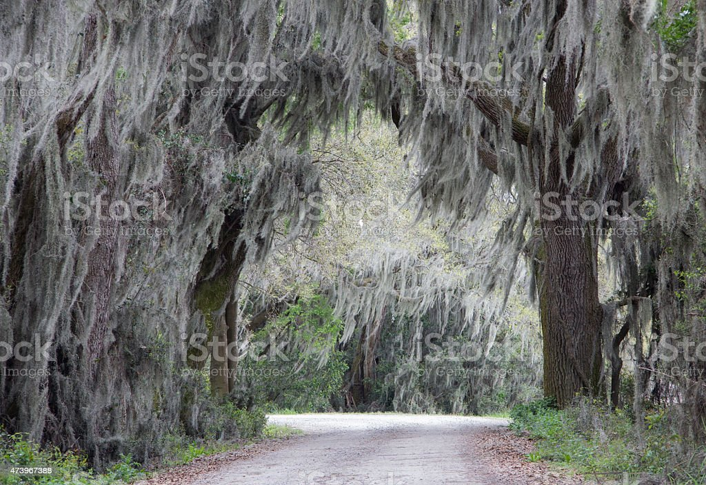 Dirt road lined with Spanish Moss covered oak trees stock photo