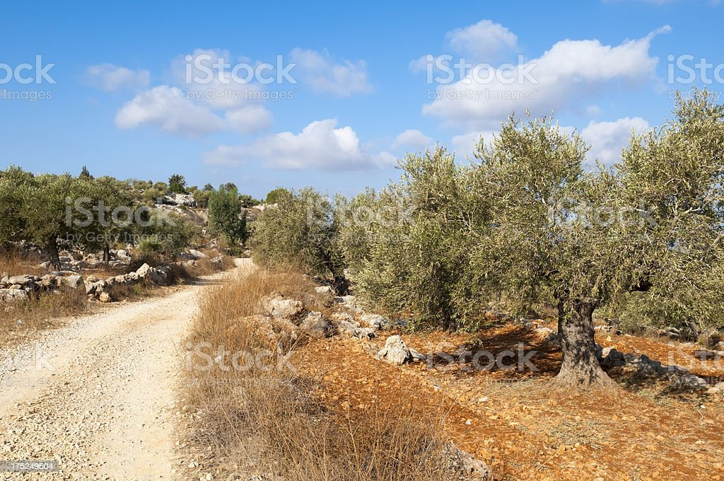 Dirt road through olive grove in Palestinian village of Aboud royalty-free stock photo
