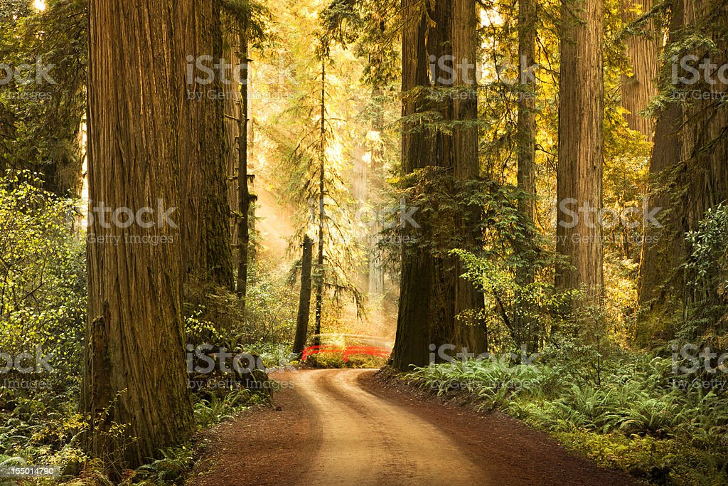 Dirt road through Redwood trees in the forest stock photo