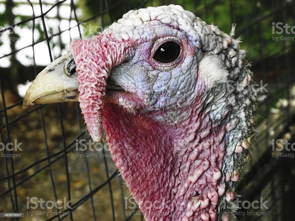 Dirty Caged Turkey royalty-free stock photo