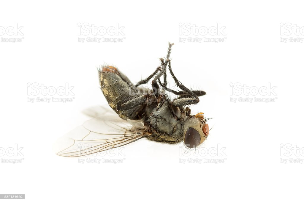 Dirty Dead Fly isolate stock photo