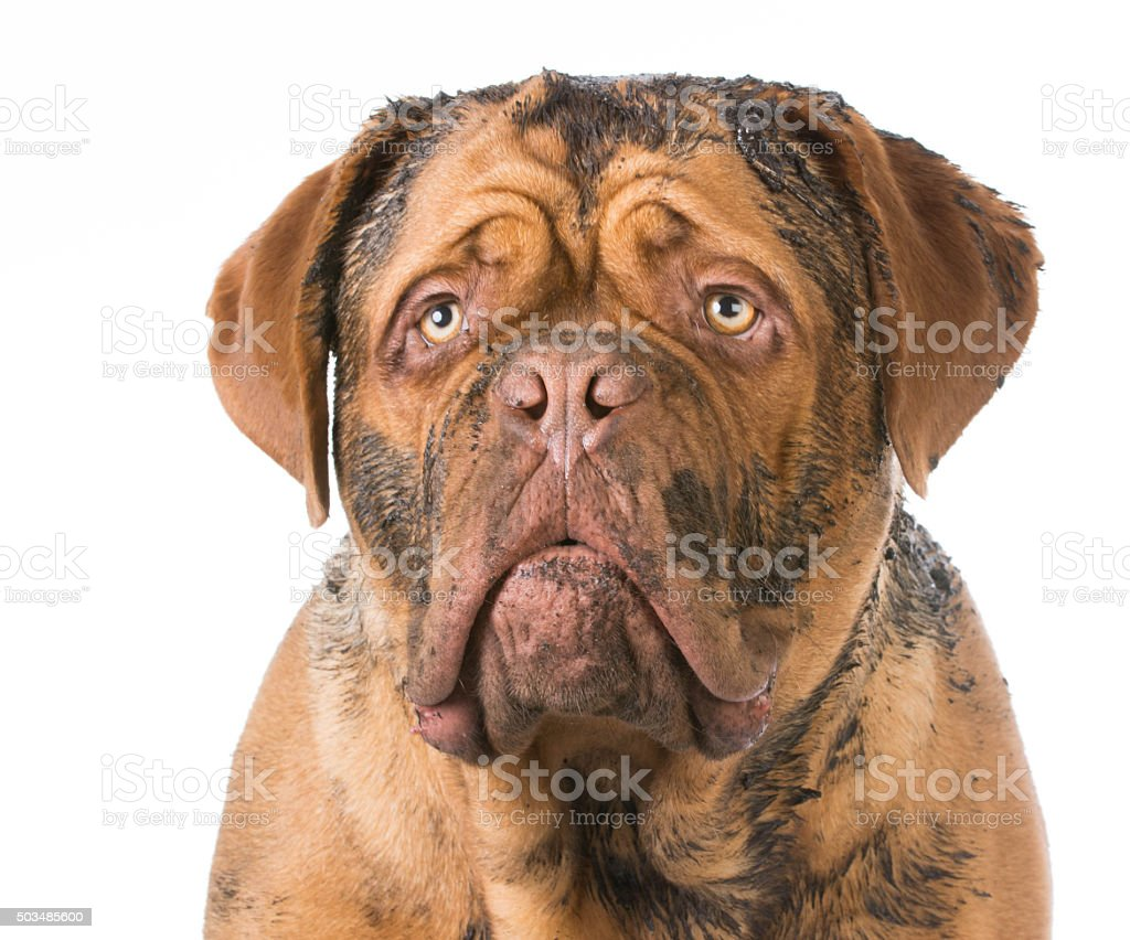 dirty dog stock photo