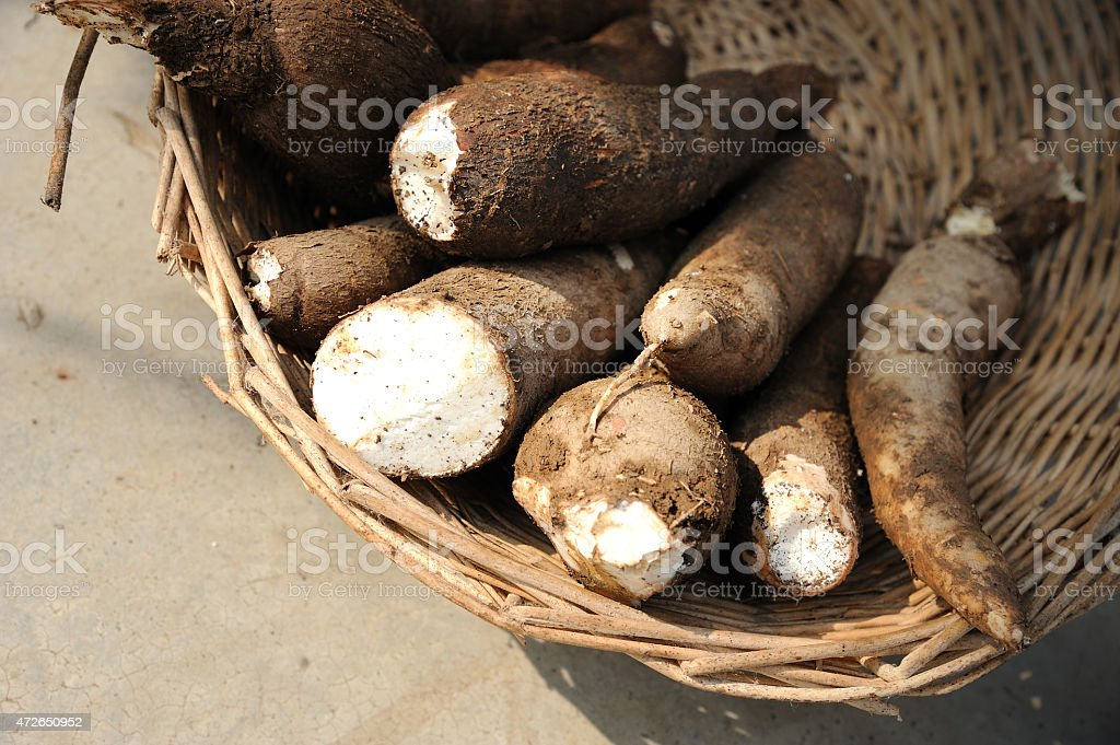 Dirty, Freshly Pulled Tapioca Root in Woven Basket stock photo