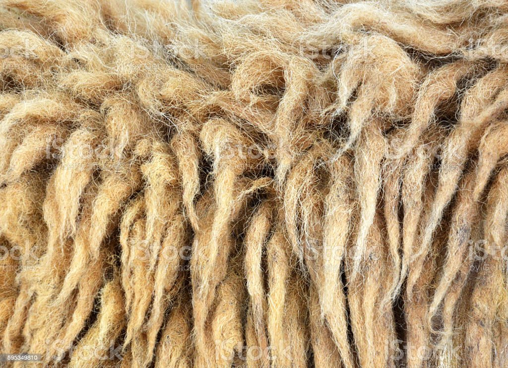 dirty goat wool texture close up royalty-free stock photo