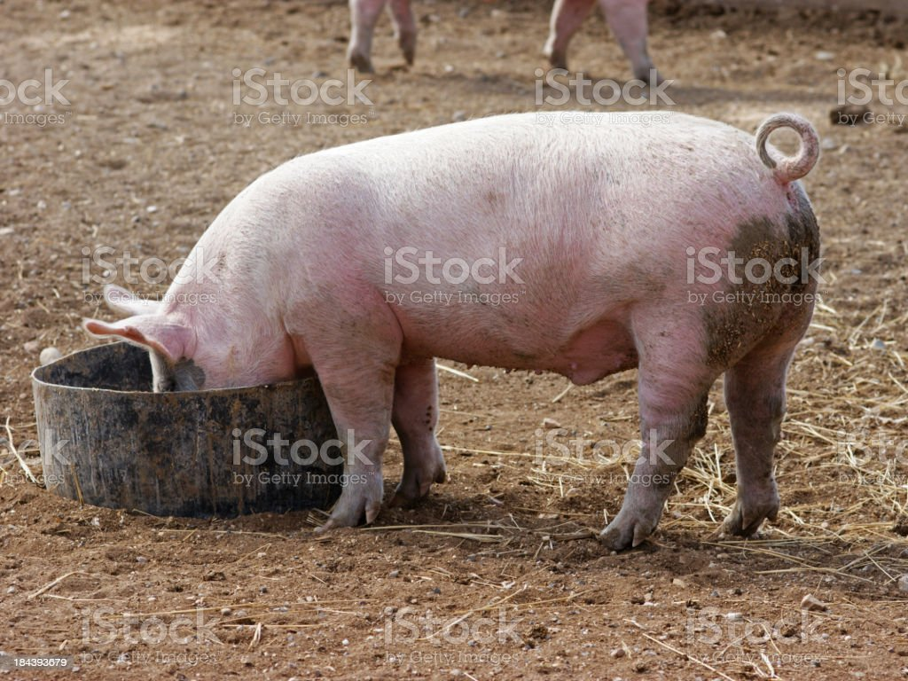 Dirty pig eating out of a can on the floor royalty-free stock photo