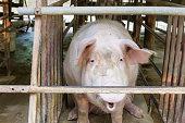 Dirty pigs at pen.