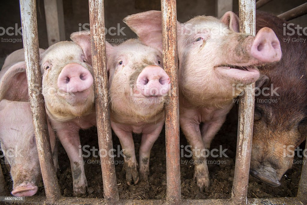 Dirty pigs. stock photo