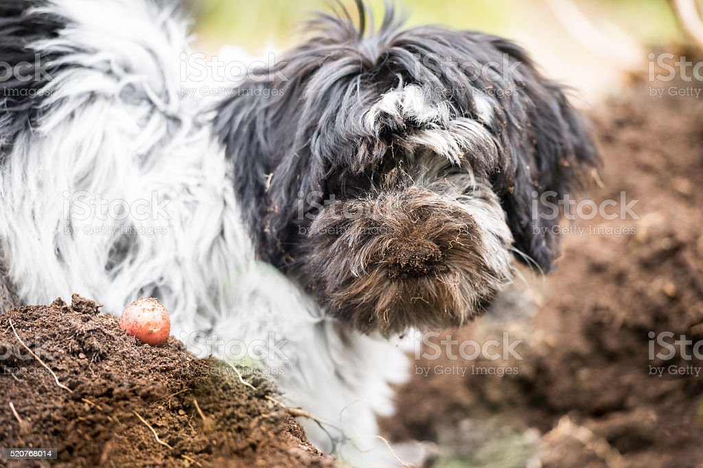 Dirty puppy digging in the garden stock photo