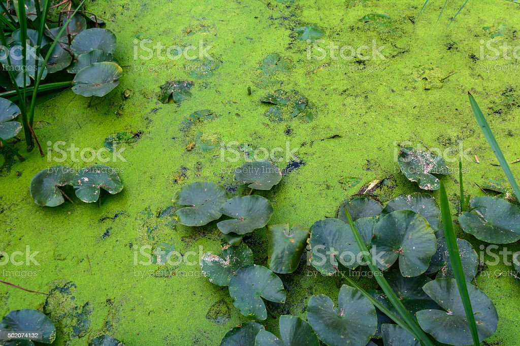 Dirty water with green plants near the shore. stock photo