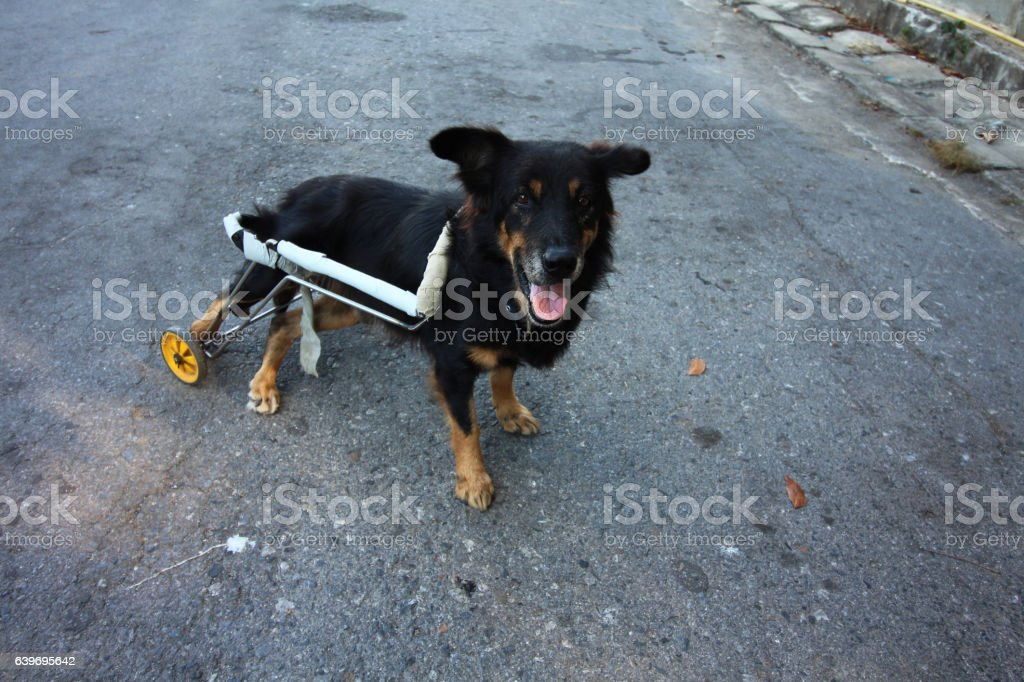 disabled dog stock photo
