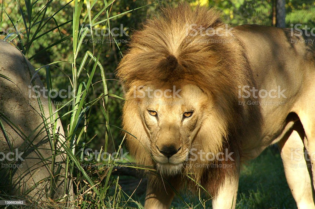 Disapproving Lion stock photo