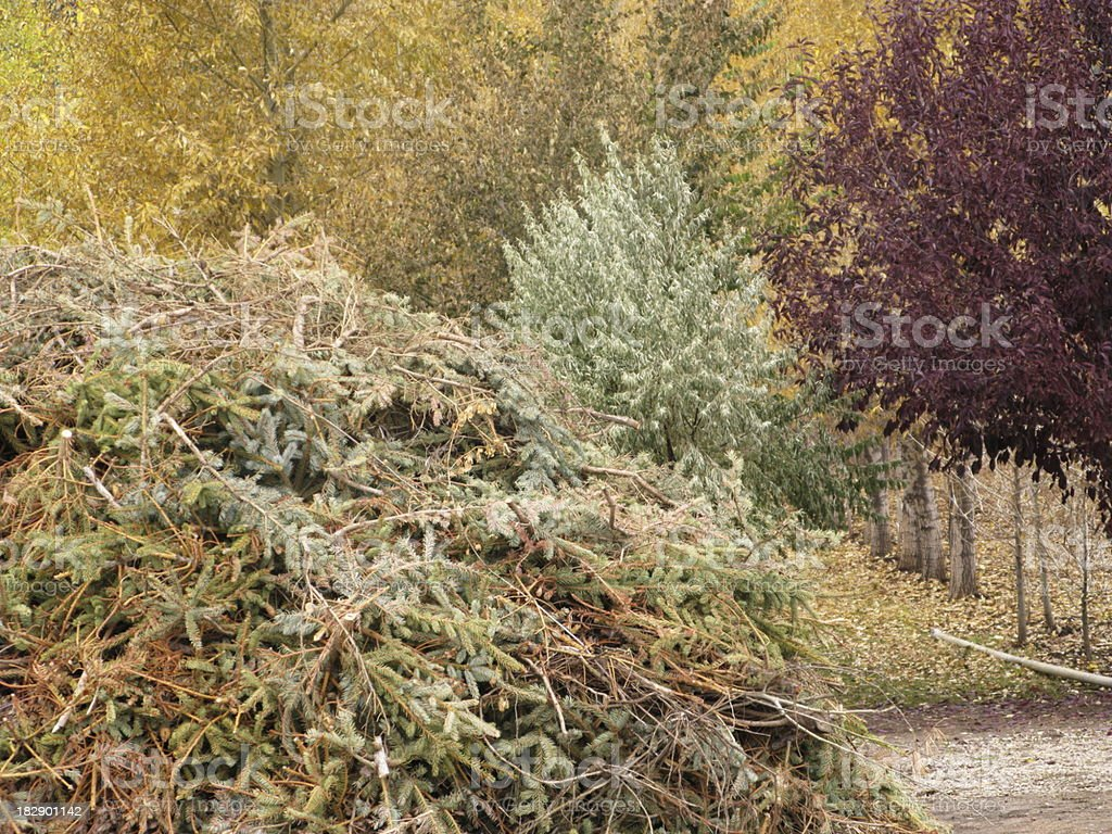 Discarded Christmas Trees Compost Mulch royalty-free stock photo