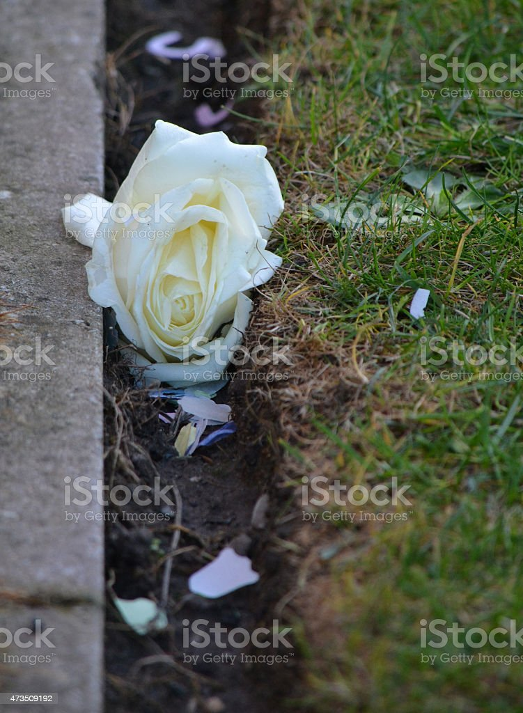 Discarded rose after wedding stock photo