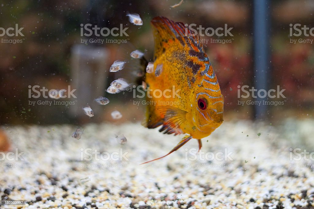 Discus family with fry stock photo